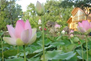 pleine conscience, lotus
